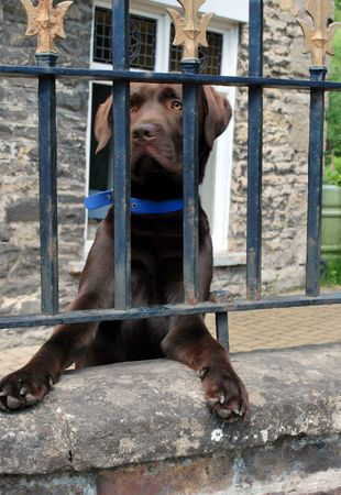 brown labrador: Chocolate Labrador waiting for owner behind a fence  Stock Photo