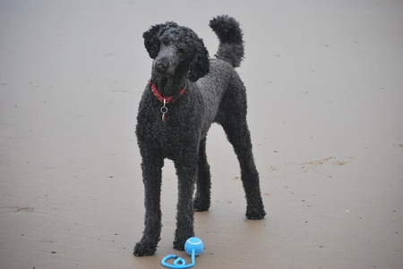 black poodle standing on sandy beach with blue ball in front