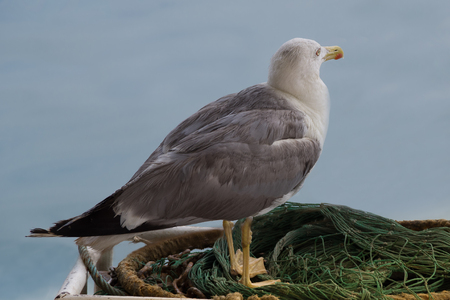 Close up view of lone seagull standing on a fisherman net, looking at the sea.
