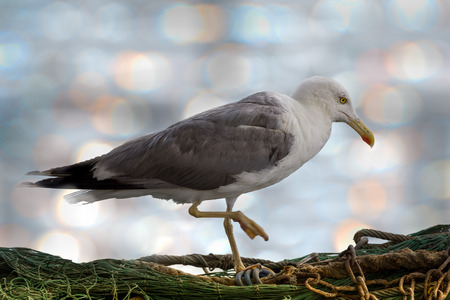 Close up view of lone seagull standing on a fisherman net with one leg up. Reklamní fotografie