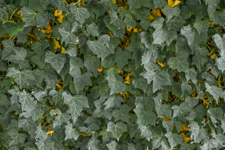 Close up landscape view of green and yellow ivy leaf background. Reklamní fotografie