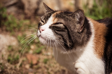 Close up view of a cats head, scratching her neck with a paw. Photo taken in the garden during the summer day. Rijeka, Croatia.