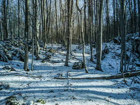 Landscape view of forest with lots of trees without leaves. White snow on the ground. Winter in Istra, Croatia, Europe. Reklamní fotografie