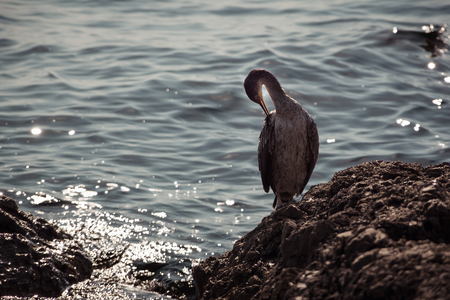 Close up front view of one gray grebe standing on the rock surrounded with a blue sea. Autumn in Opatija, Croatia, Europe.