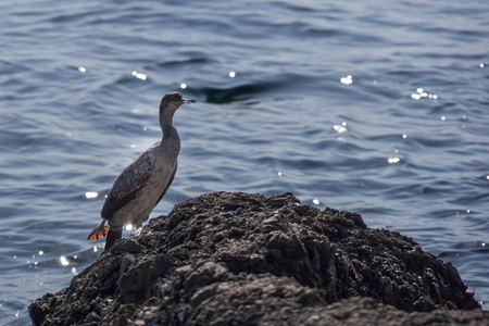 Close up side view of one gray grebe standing on the rock surrounded with a blue sea. Autumn in Opatija, Croatia, Europe.