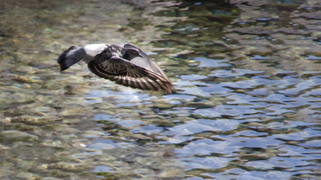 Close up view of one grey pigeon flying free above clear sea, concept of freedom. Autumn in Opatija, Croatia, Europe. Reklamní fotografie