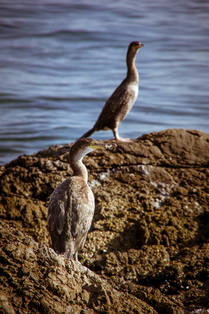 Close up back view of two gray grebes standing on the rock surrounded with a blue sea. Autumn in Opatija, Croatia, Europe. Reklamní fotografie