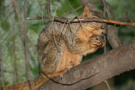 A squirrel catching a bite to eat hiding behind a twig. photo