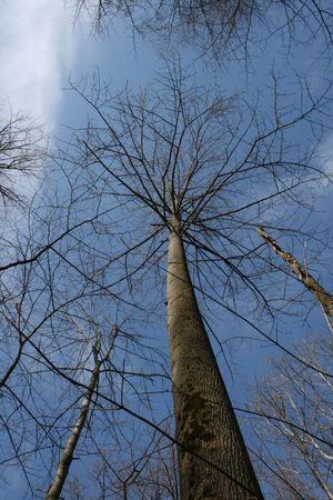Tall Leafless Tree photo