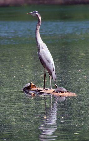 A blue Herring on lake