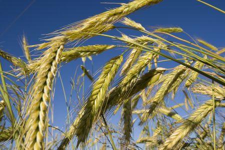 Un cultivo de trigo en un campo en la pradera canadiense  Foto de archivo