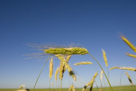 A wheat crop in a field on the Canadian Prairie