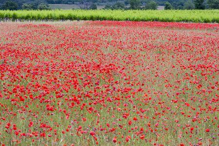 Amapola en un campo en provence rurales Francia  Foto de archivo
