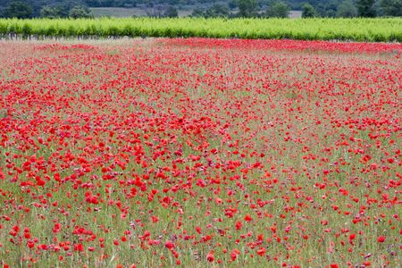 Poppies in a field in rural provence France