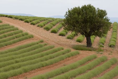 A lavender field near Manosque in Provence France