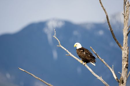 A bald eagle sitting in a tree waiting