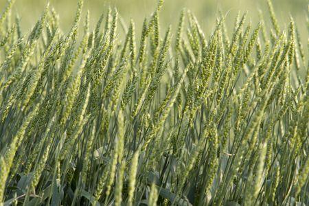 Stalks of immature green wheat in a field on the prairie. Horizontal shot.
