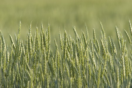 A green wheat crop is growing in a field on the prairie. Horizontal shot.