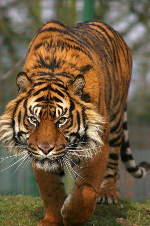 stalking: Sumatran Tiger  Stock Photo