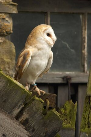 A Barn Owl known as the  photo