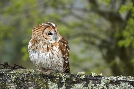 This image of a Tawny Owl was captured in Wales, UK. Stock Photo