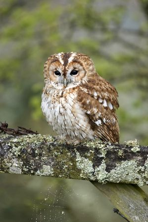 This Tawny Owl, perched on a gate was captured in Wales, UK.