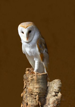 This beautiful Barn Owl was captured at a Raptor centre in Hampshire, UK.