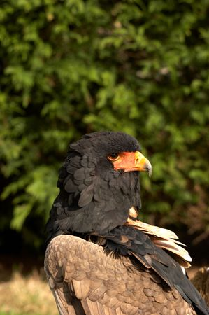 The Bateleur Eagle is one of the smaller species of eagle that live on the open plains of Africa. The name  photo