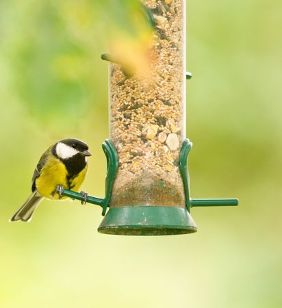 animals feeding: This colourfull Great Tit was photographed at a RSPB reserve in Wales, UK. Stock Photo