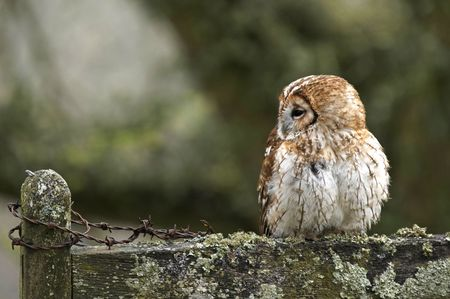 A Tawny Owl finds a comfortable perch in the Welsh countryside. Stock Photo - 4068878