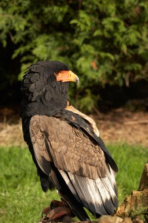 The Bateleur Eagle is one of the smaller species of eagle that live on the open plains of Africa. Stock Photo - 4068870