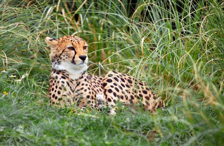 This young Cheetah was captured taking time out from playing with it's sibling. Stock Photo - 4072478