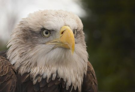 captured: This beautiful Bald Eagle was captured at a Raptor centre in Hampshire, UK.