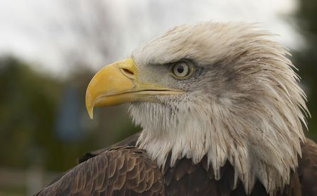 This beautiful Bald Eagle was captured at a Raptor centre in Hampshire, UK.
