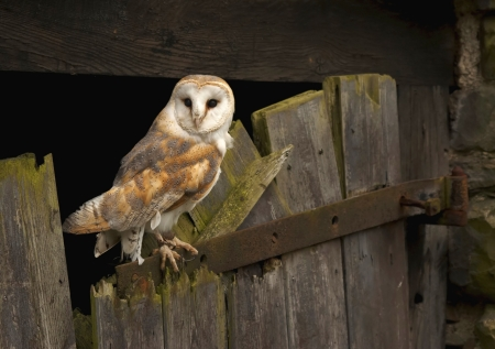 A Barn Owl captured on an old barn door in Wales, UK. Stock Photo