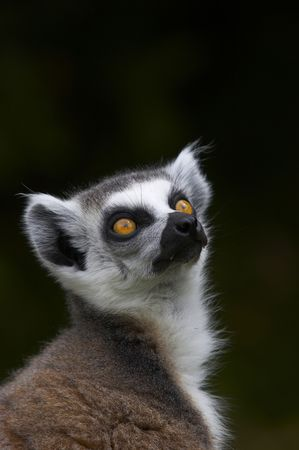 An endangered Ringed-tailed Lemur gazes up to the canopy. photo
