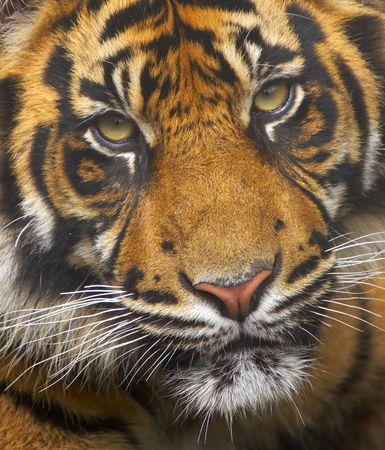 tiger head: This young Sumatran Tiger was born into a breeding programme at a UK zoo. These animals are currently endangered, their world population down to under 500.