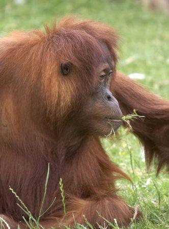 utang: This Orangutan was photographed at a UK zoo.