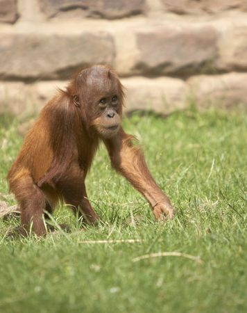 This baby Orangutan was photographed at a zoo in the UK.  Stock Photo