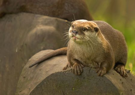 This image of an Asain Otter was captured in the North West of the UK. photo