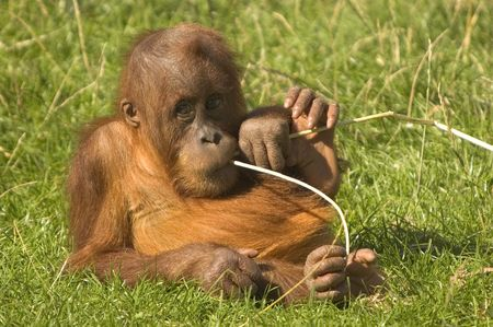 orangutang: This image of a baby Orangutan was captured at a Zoo in the UK.