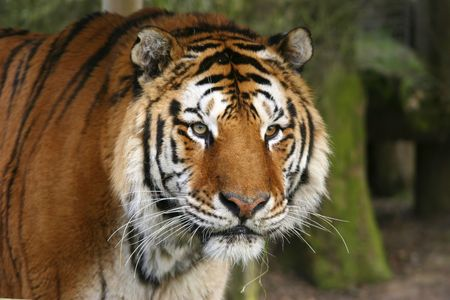 This endangered Bangal Tiger was captured at a conservation and breeding project in the UK. Stock Photo - 4072441