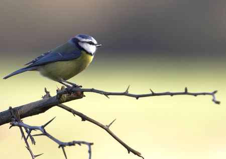 A Blue-Tit perched on a hawthorn branch on a winters day.