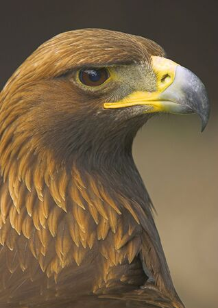 aquila: The golden eagle is one of the most magnificent birds of prey in the UK.