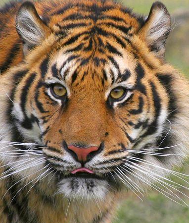 tigre blanc: Une intrigante affectueux Tiger qui donne beaucoup de joie � tous ceux qui savent et sa rencontre. Indy vit aujourd'hui au Royaume-Uni � un centre de conservation de grands f�lins.