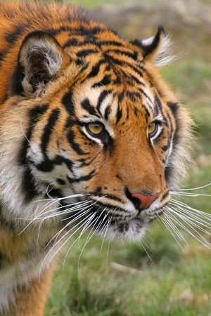 eyes looking down: Bengal Tigers are found mainly in India with smaller numbers in Bangladesh, Nepal, Sikkim, Bhutan and Burma. The Bengal is 1 of 6 remaining subspecies of Tiger and has been protected since 1972. It is thought there are less than 2,500 remaining in the wil