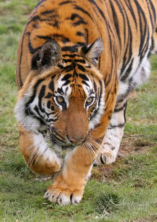 distances: Tigers run extremely fast over short distances