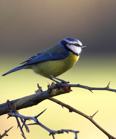 A profile photograph of a beautiful Blue Tit captured at first light on a crisp clear morning.  Stock Photo