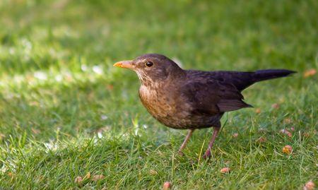 A females Blackbird feeding on discarded peanuts. Stock Photo
