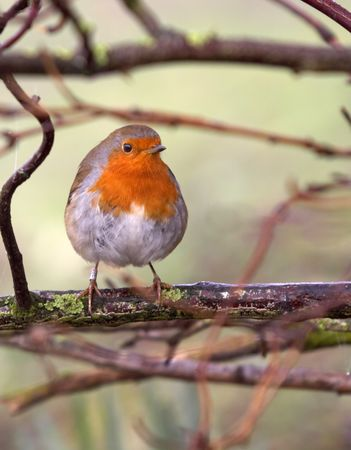 robin bird: A Robin photographed on a winters morning in the UK.